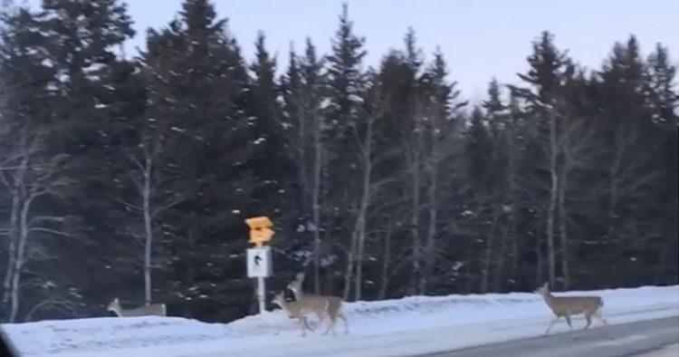Captan venados cruzando la calle en Manitoba, Canadá (VIDEO)